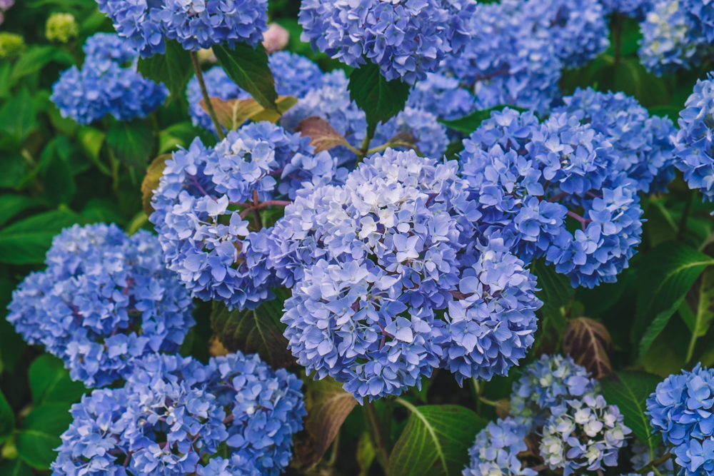 Photos of Exbury Gardens: Blue Hydrangea
