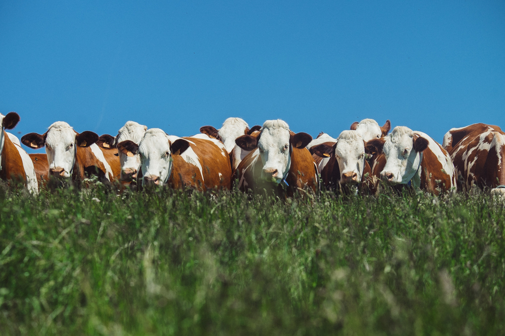 Montbeliarde cows enjoying a meadow in the Jura region, France