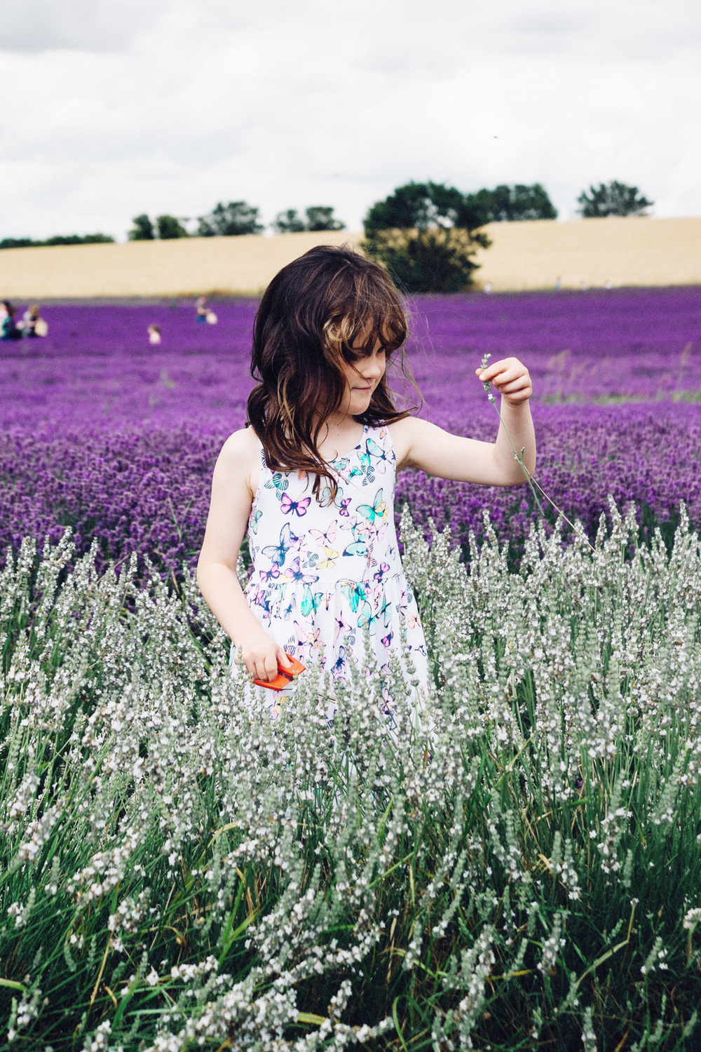 Girl picking lavender, Hitchin Lavender