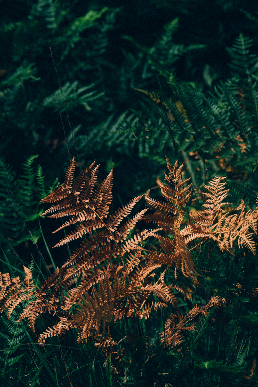 Golden fern,New Forest