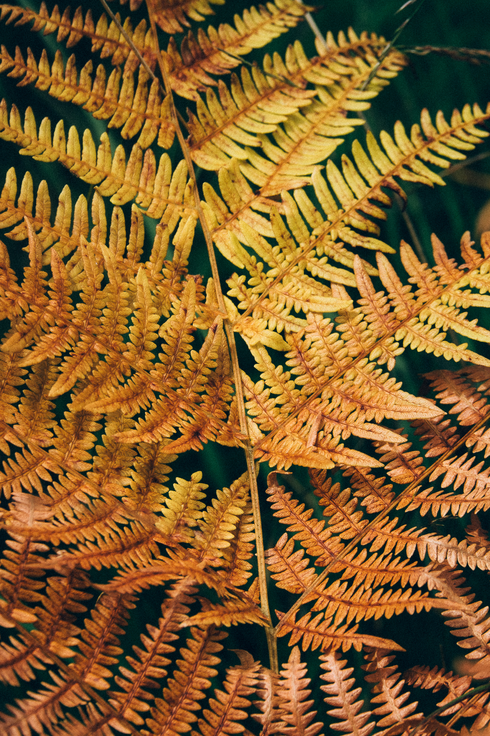 Gold fern, New Forest