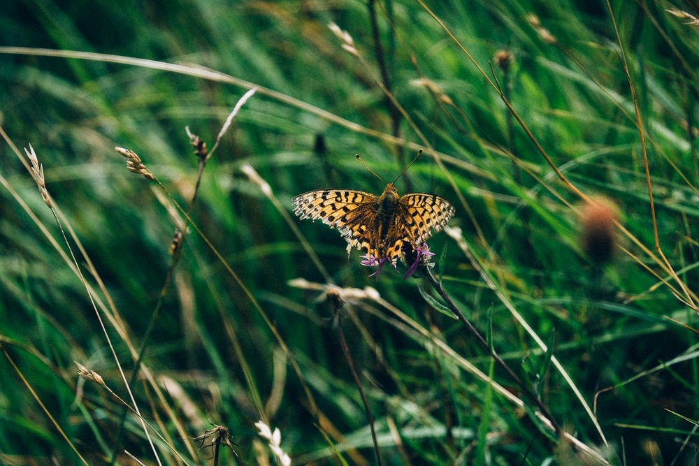 Butterfly,New Forest