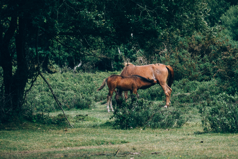 Foal feeding from mother, New Forest ponies
