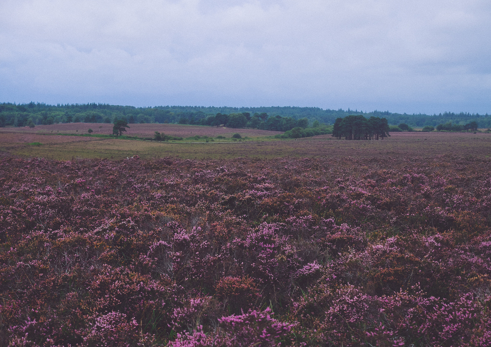 Heather at Yew Tree Heath