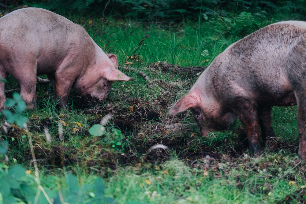 Pigs roaming in the New Forest