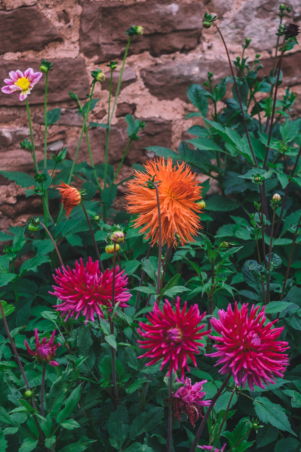 Dahlias of every colour