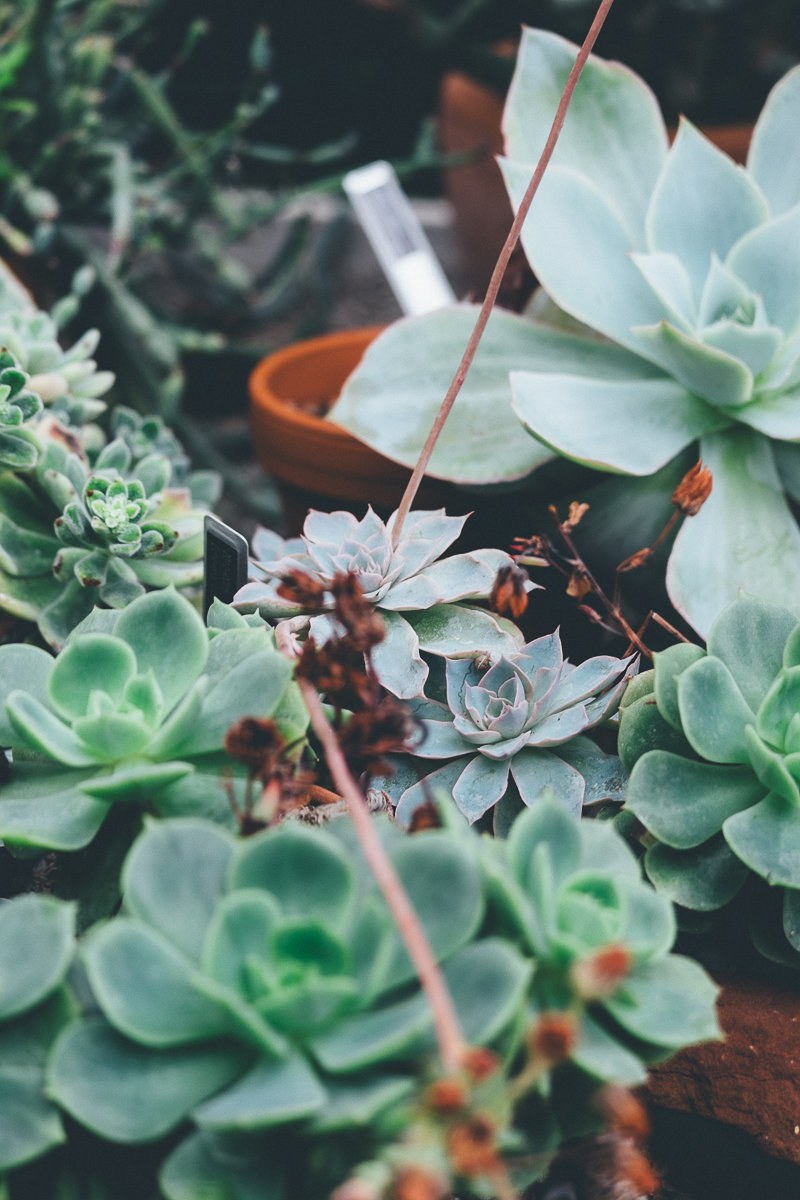 Succulents,Glasshouse at Cannington Walled Gardens