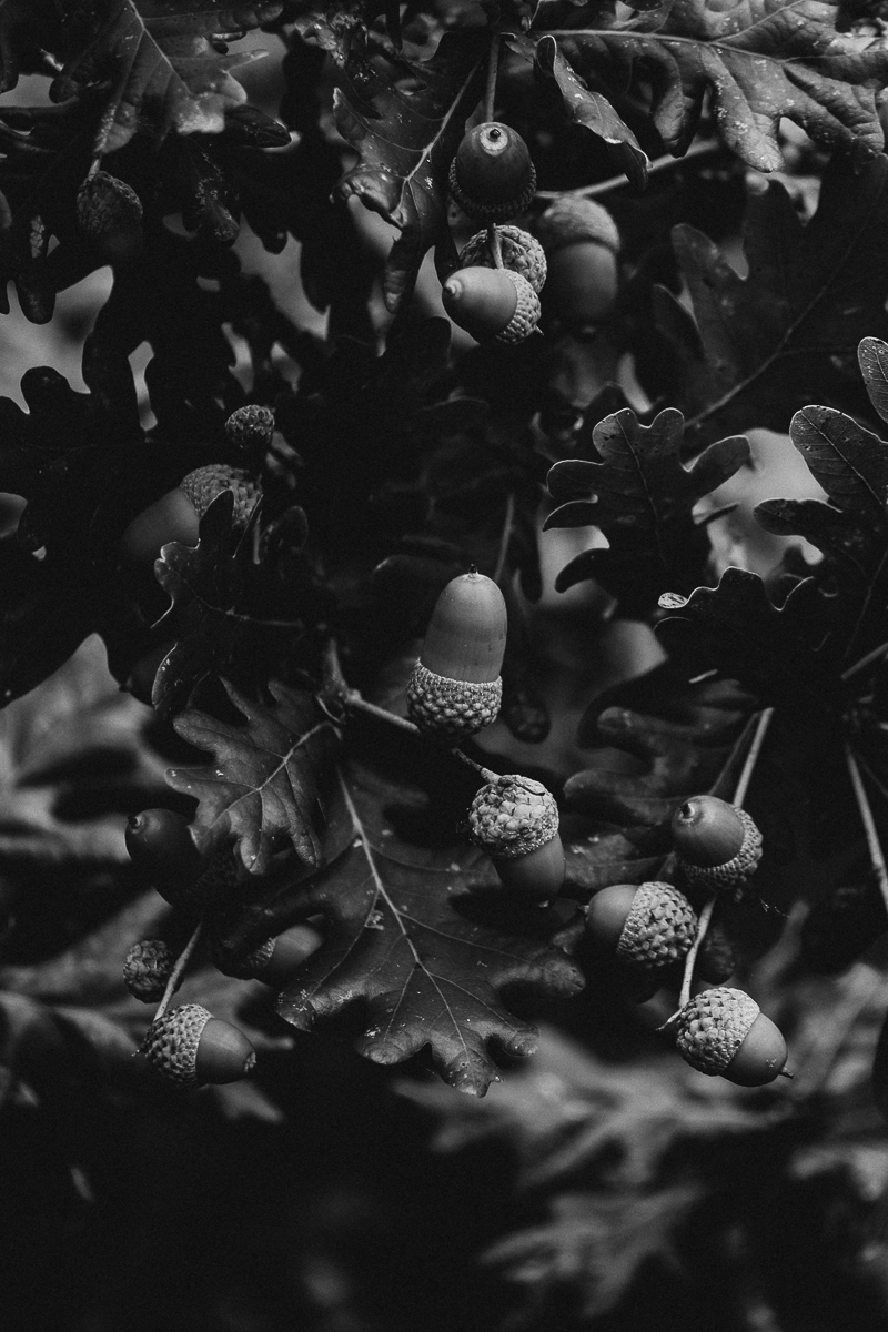 Acorns in black & white