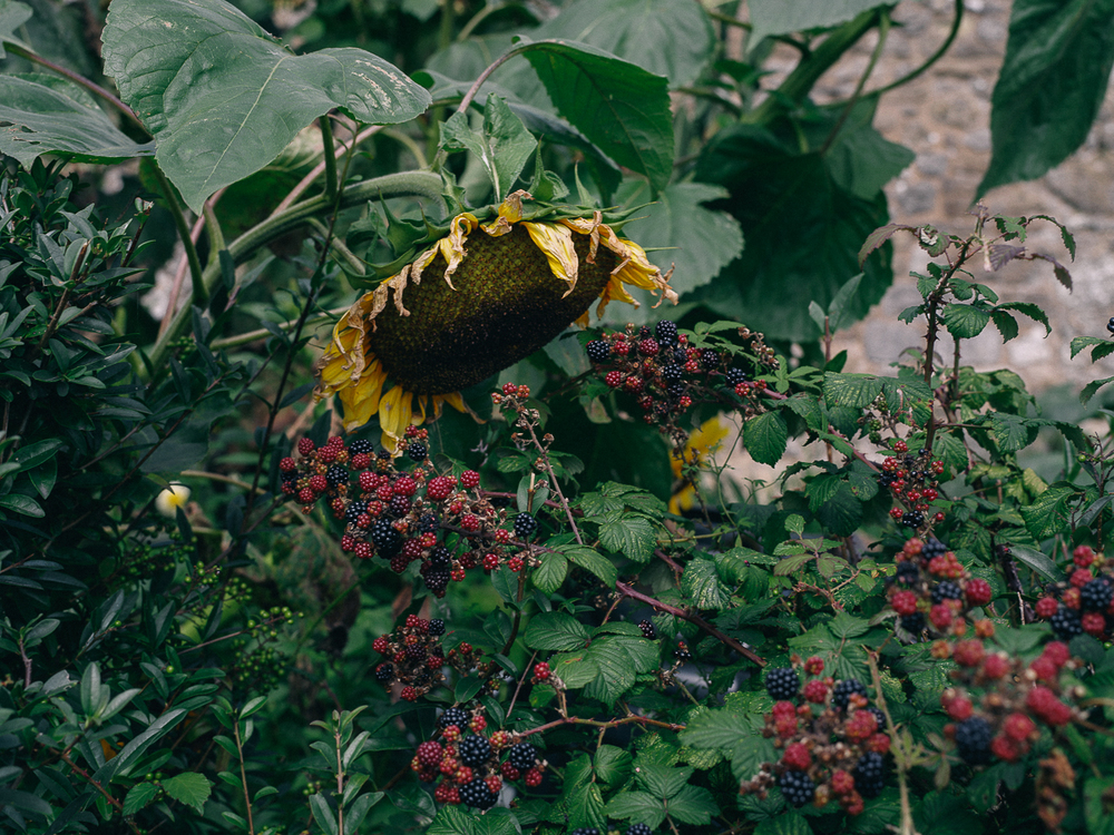 Sunflowers & Blackberries