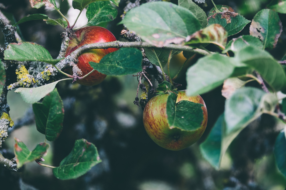Autumnal apples