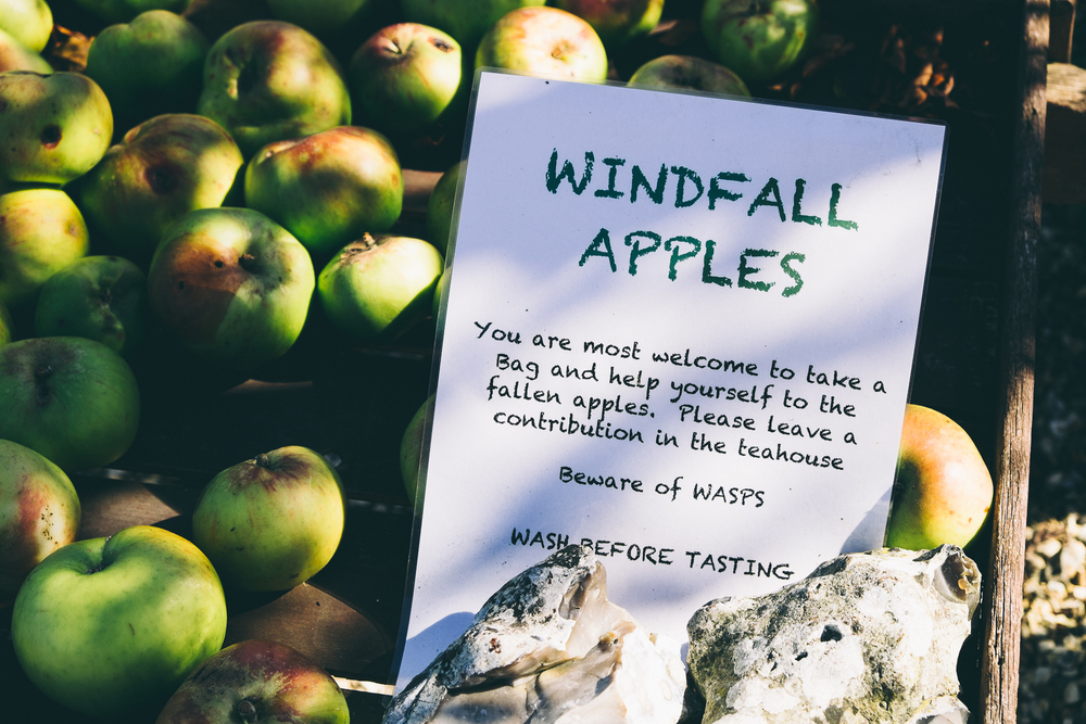 Windfall apples - help yourself