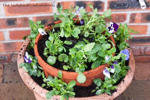 Winter pansy planter