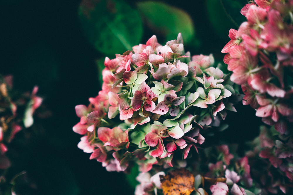 Photographs of Hydrangeas