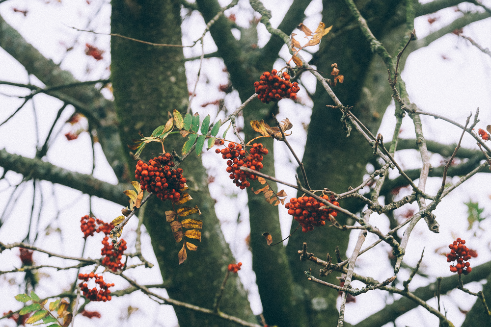 Red berries on tree