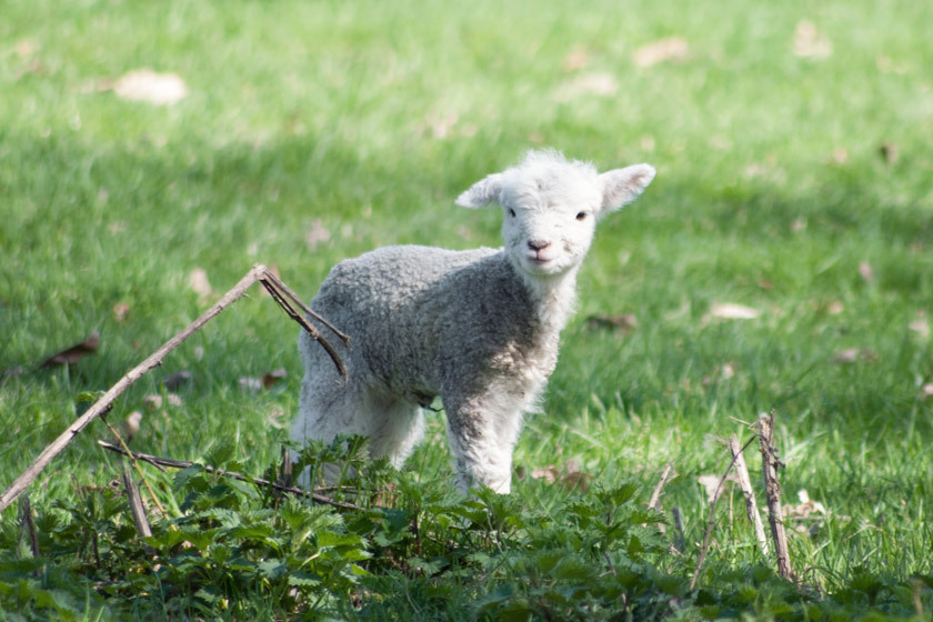 The secret life of lambs