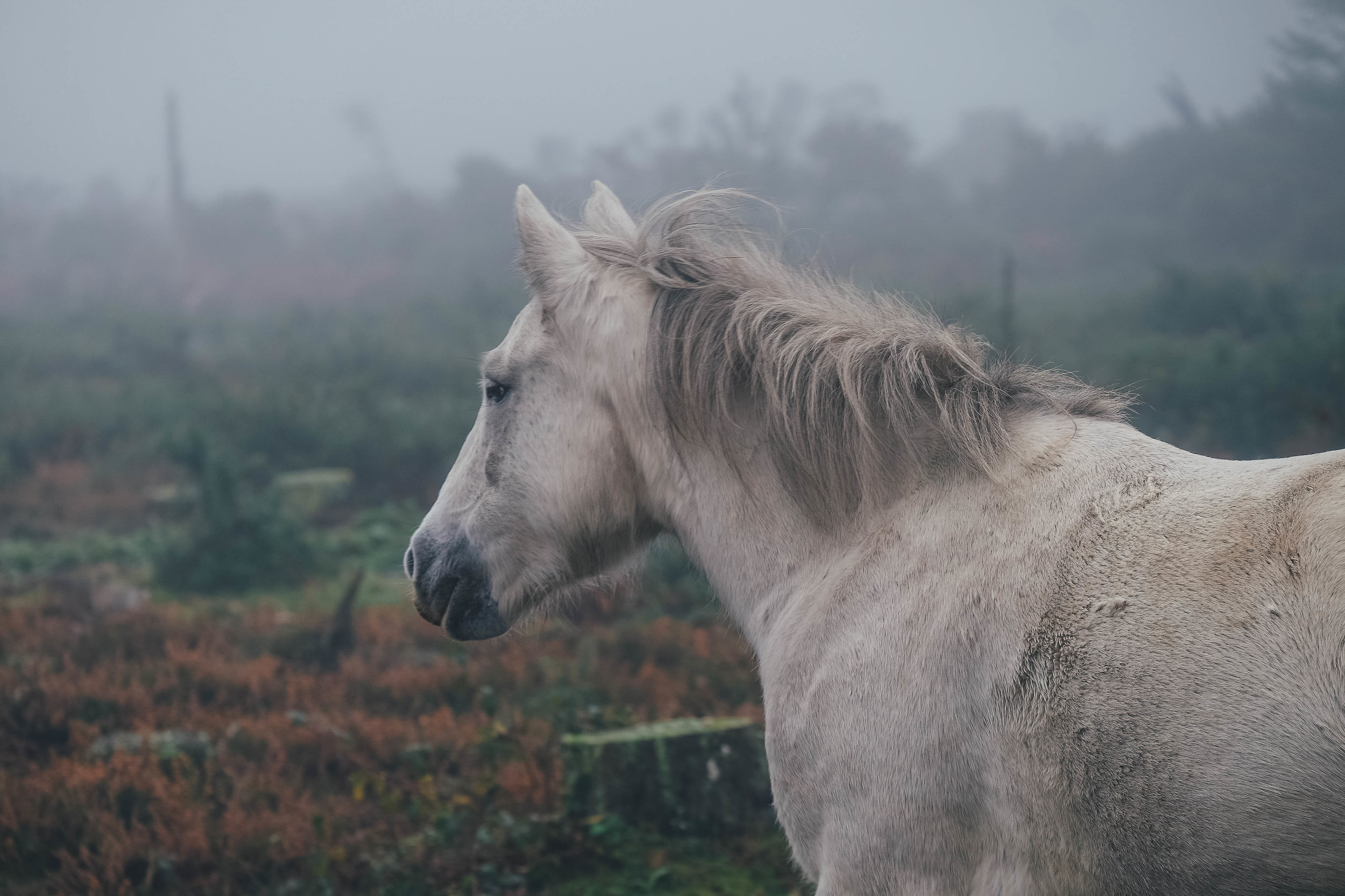 Foggy New Forest ponies