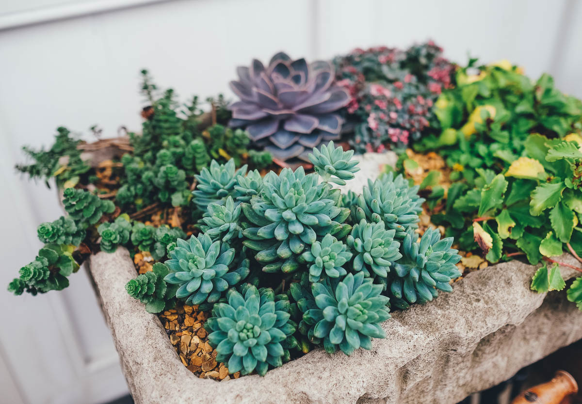 Succulent display in a belfast sink