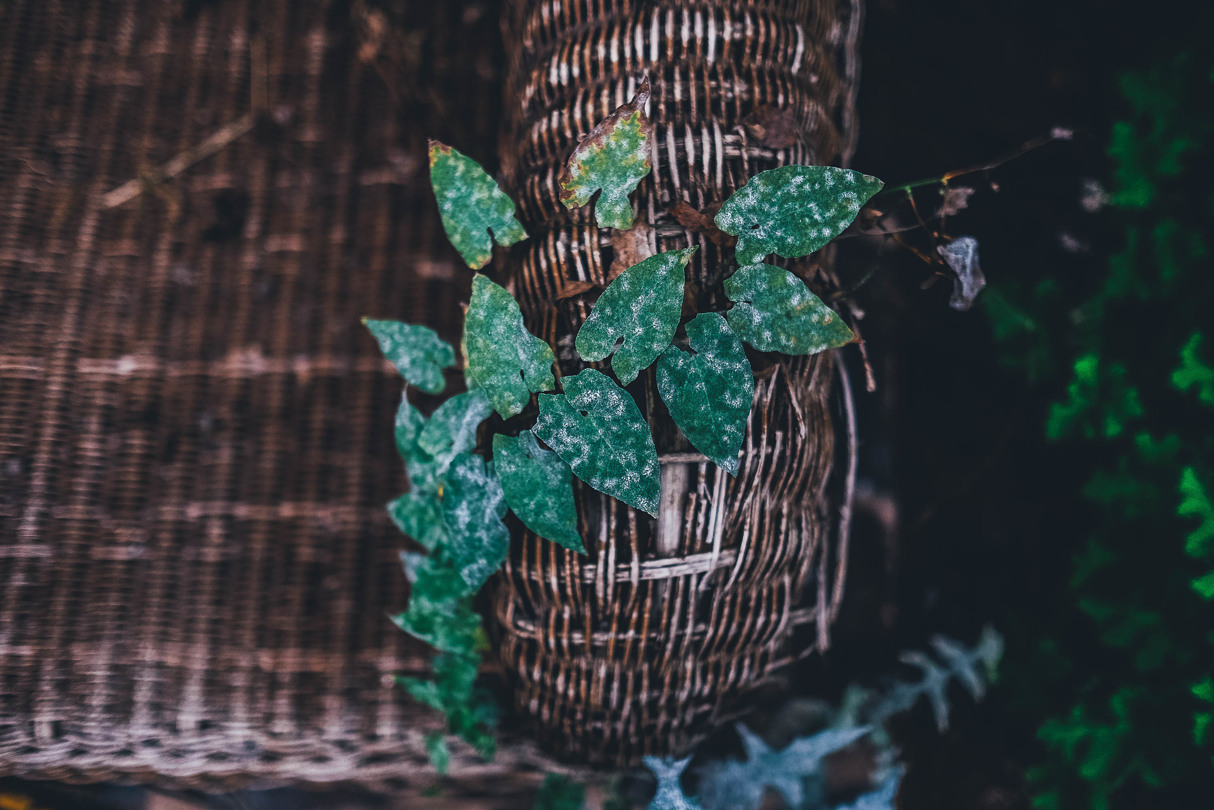 ivy trailing over chair