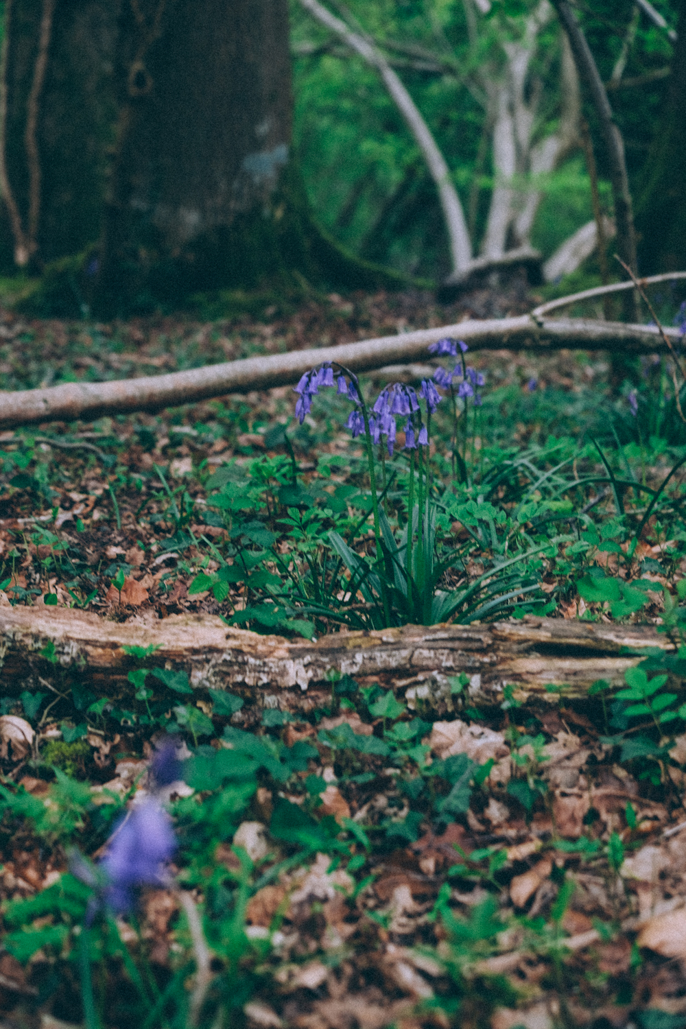Down to the wood where the blue-bells grow