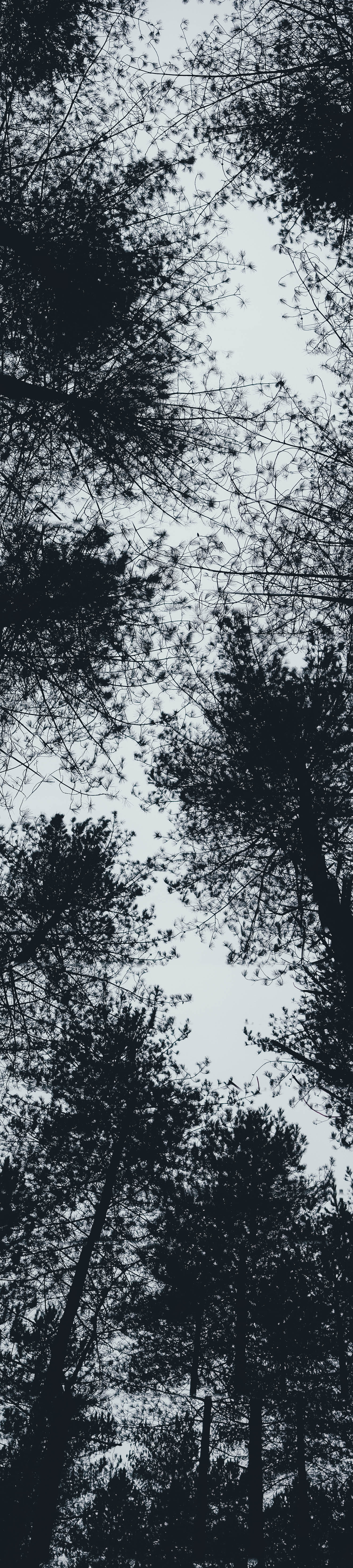 Forest trees from beneath