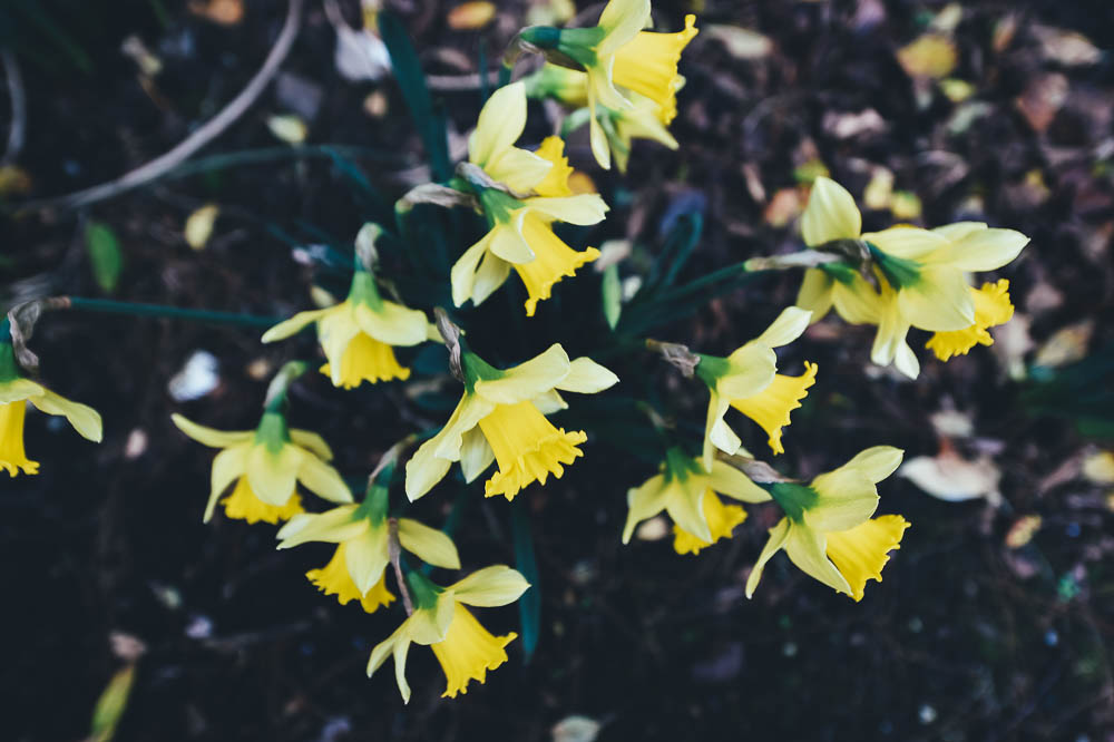Daffodils - Narcissus 'First Hope'