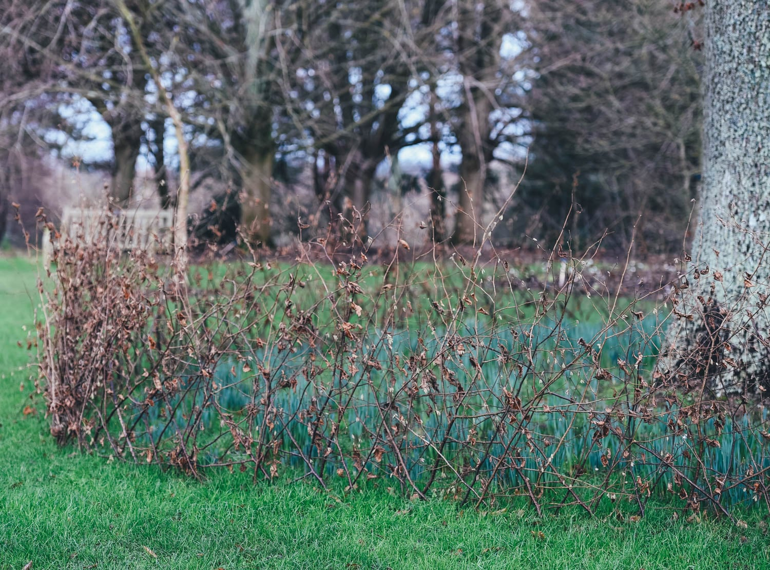 Love this natural protective fencing idea to protect the daffodils