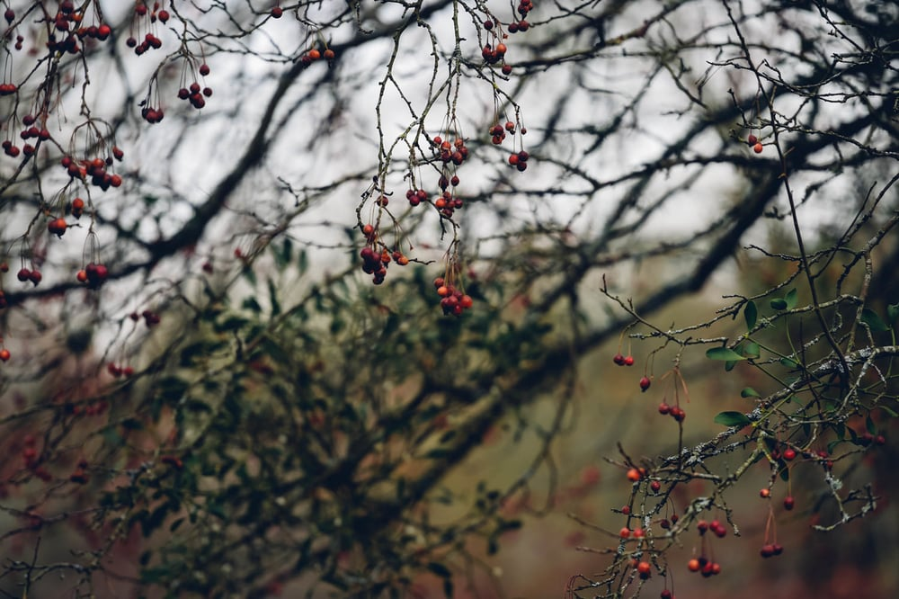 berries on tree