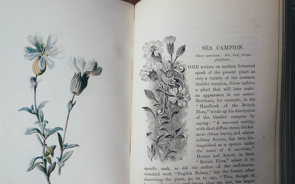 Sea Campion, vintage book