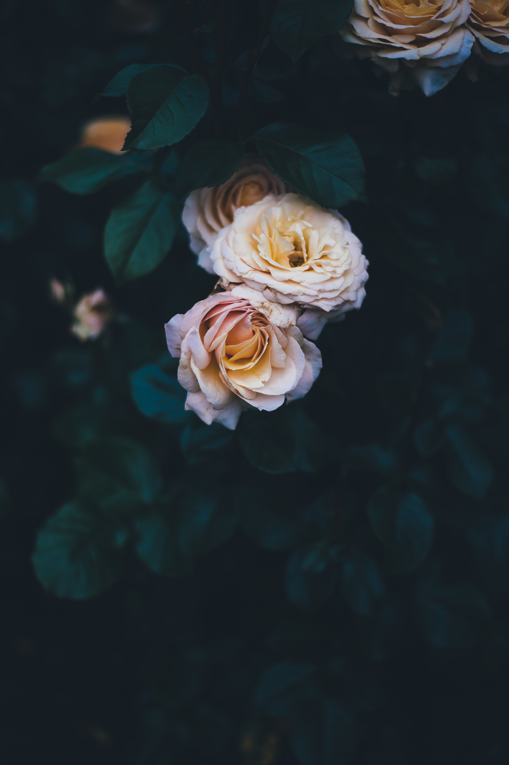 Roses - photo via Annie Spratt, FableandFolk.com