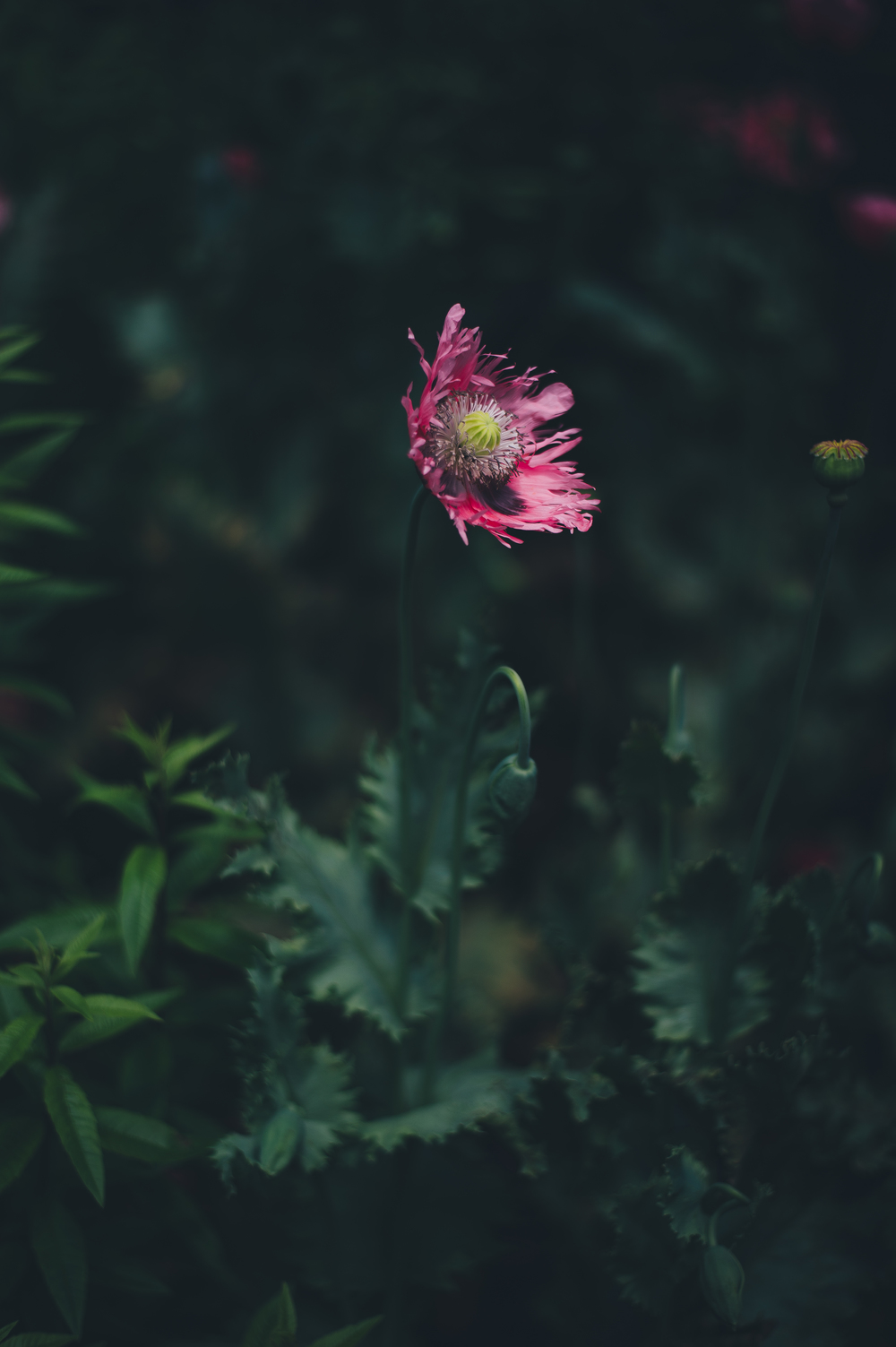 pink poppies via fableandfolk.com