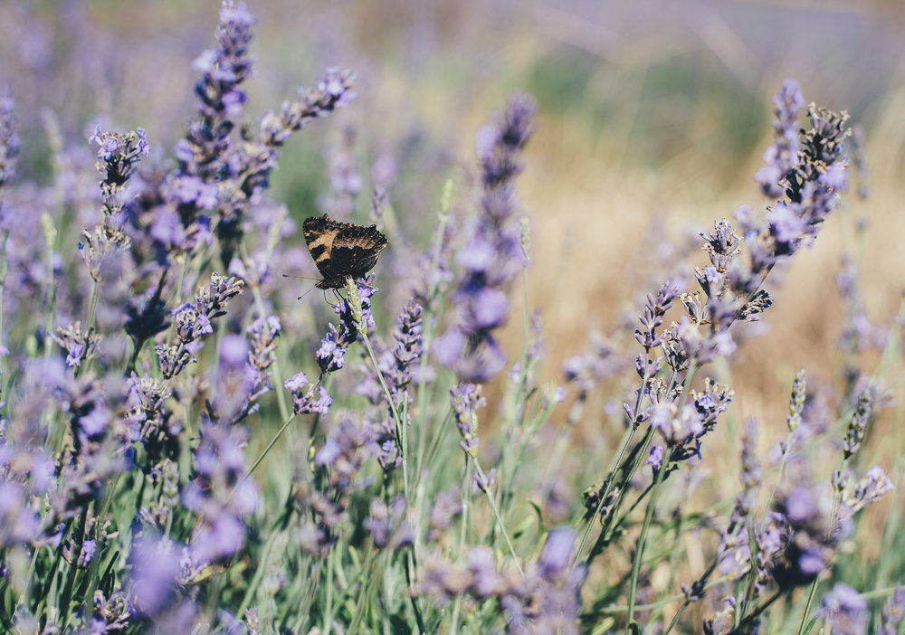 Butterfly enjoying lavender