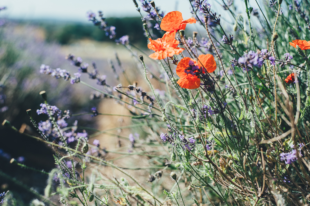 Poppies adding a splash of colour to the lavender field