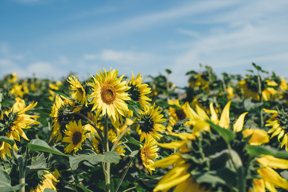 One sunflower stands tall, looking up to the sun