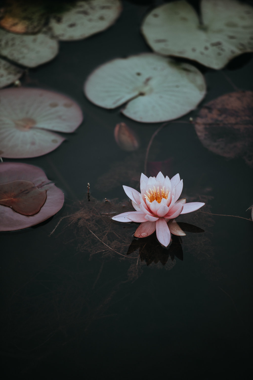 Lily Pad no. 2° by Annie Spratt