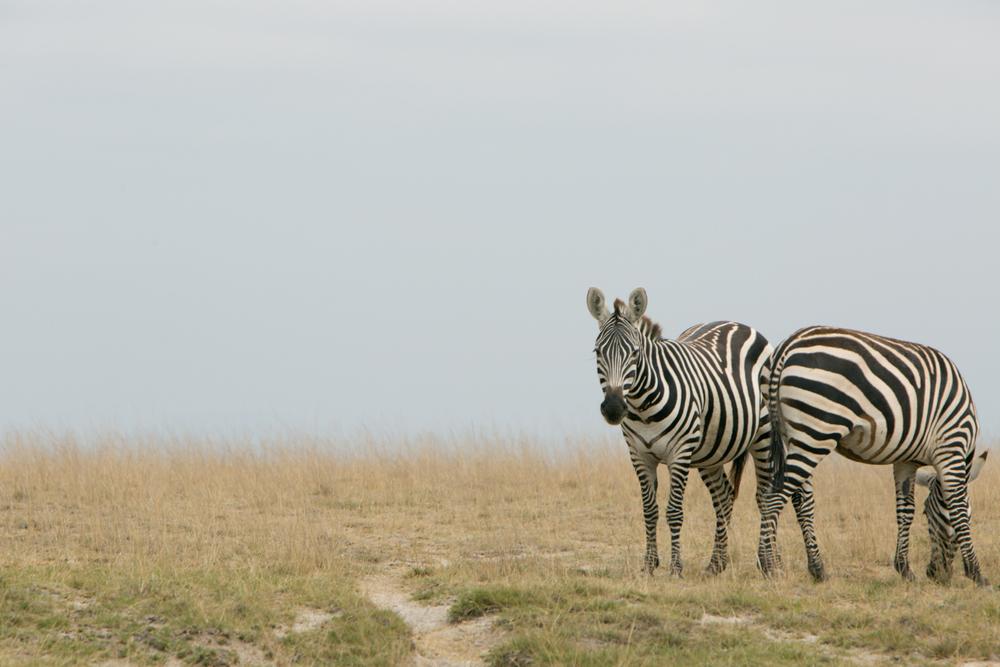 Common Zebras -Amboseli