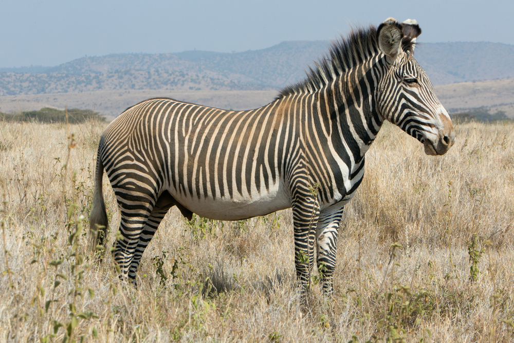 Grevey's Zebra - Lewa
