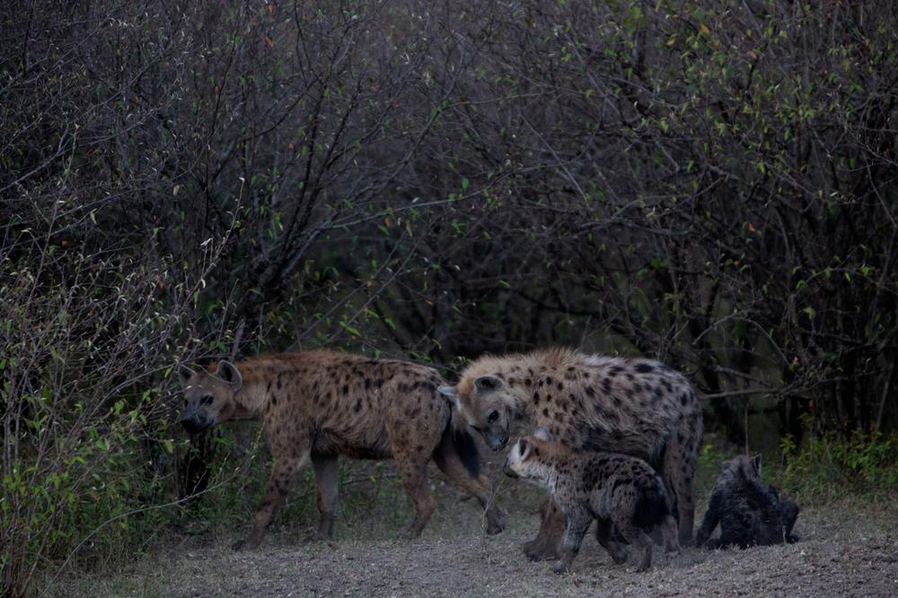 Family of Hyenas - Maasai Mara