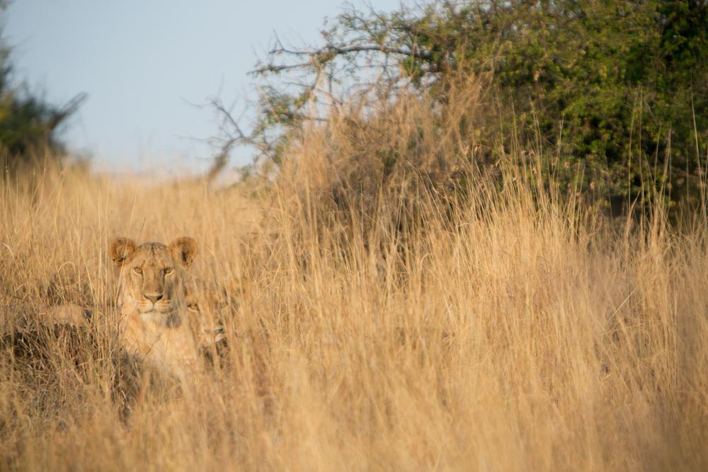 2 Lions - Lewa