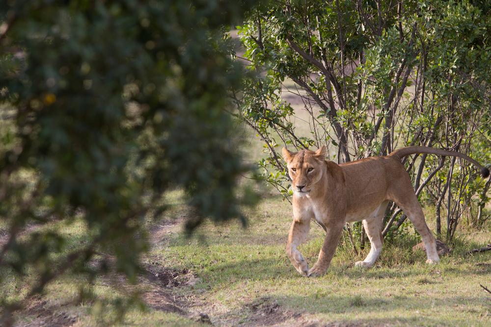 Female Lion - Maasai Mara