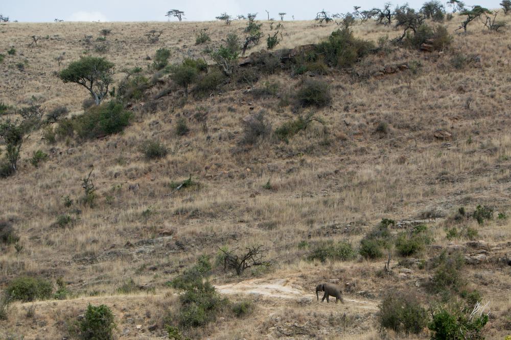 Elephant Walking Path - Lewa