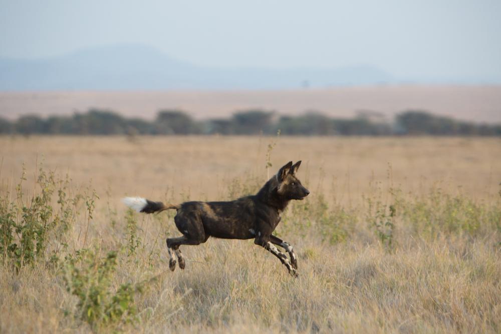 Wild Dog - Lewa