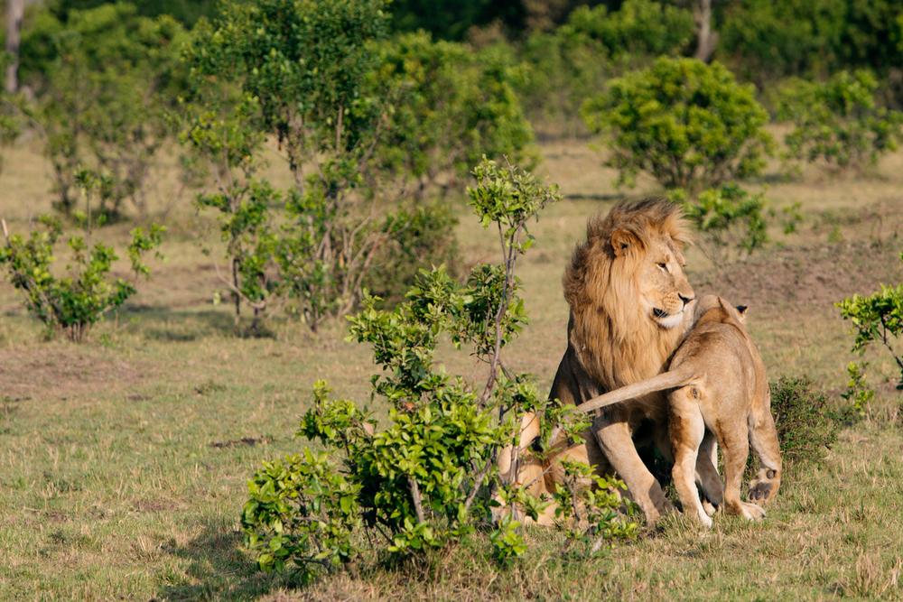 Before Mating - Maasai Mara