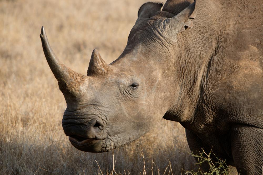 Black Rhinoceros - Lewa