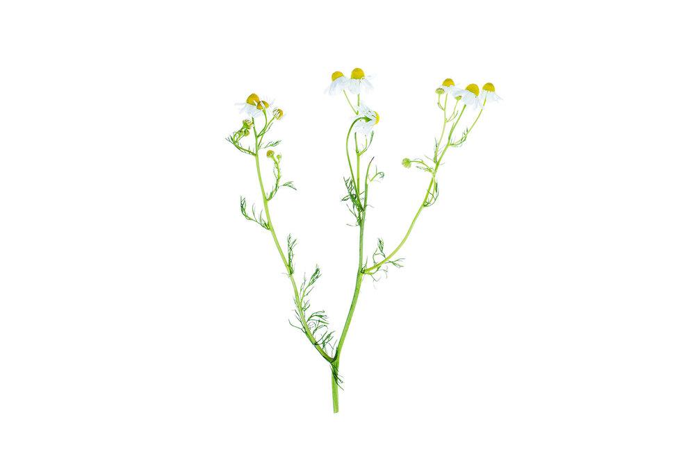 Chamomile flowers (NY)