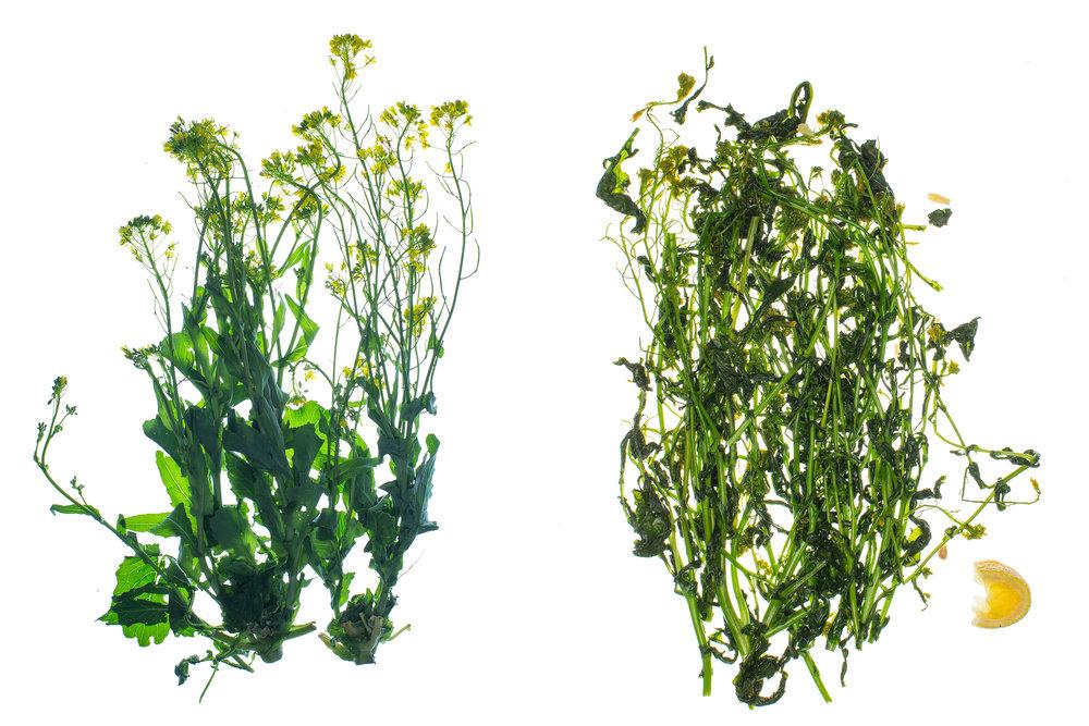Translucent Flowering Broccoli Rabe