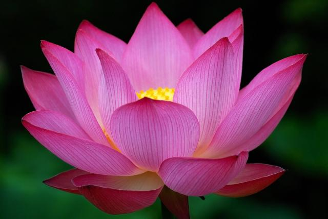 Big dark pink Lotus Flower .jpg