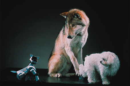 Fotografía por Robert Clark, (wolf and Maltese dog provided by Doug Seus's Wasatch Rocky Mountain Wildlife, Utah)
