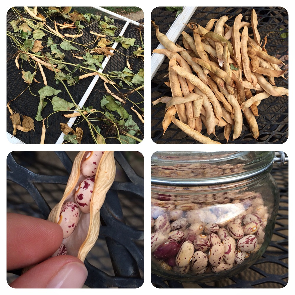 Harvesting Borlotto Tongue of Fire Beans