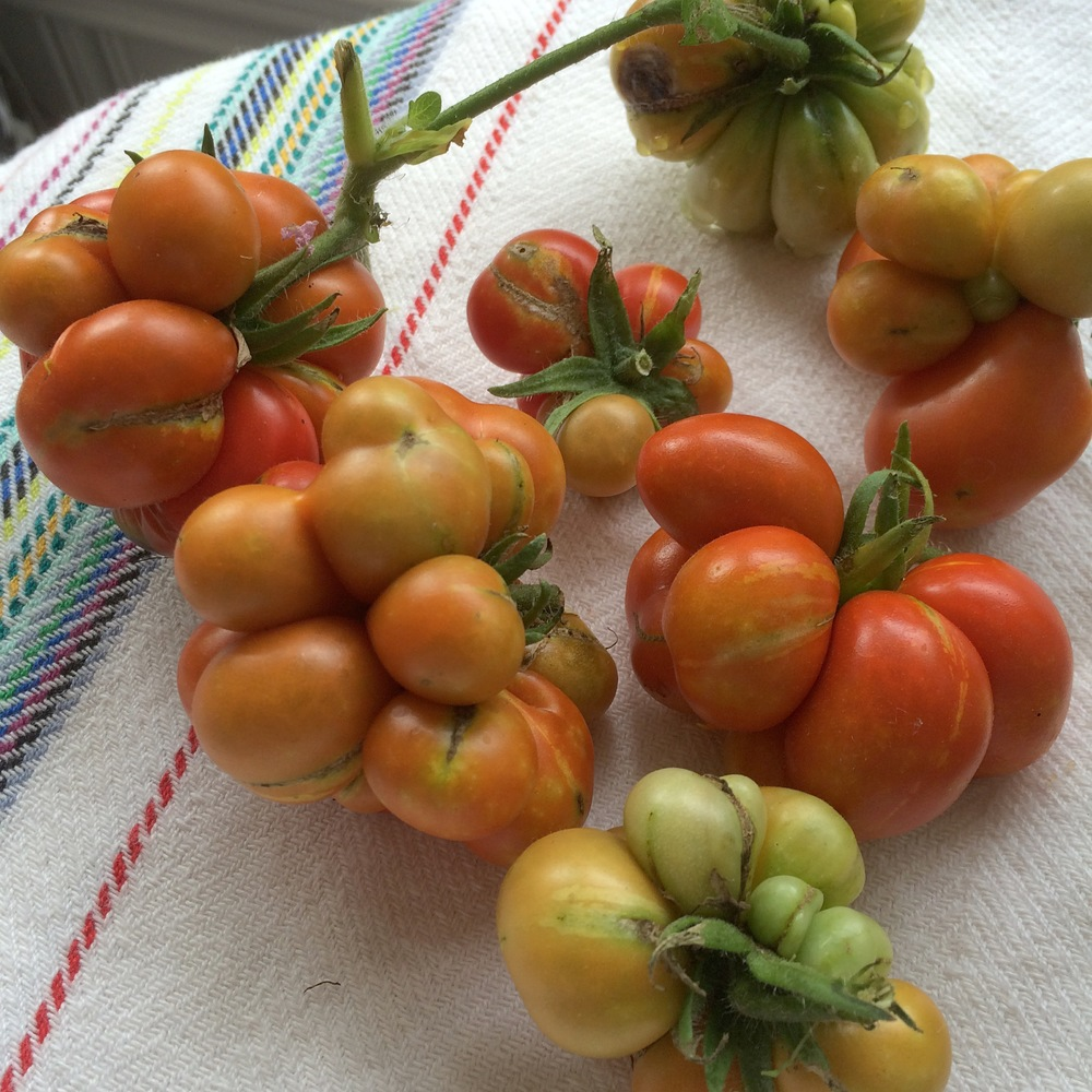 Reisetomate tomatoes