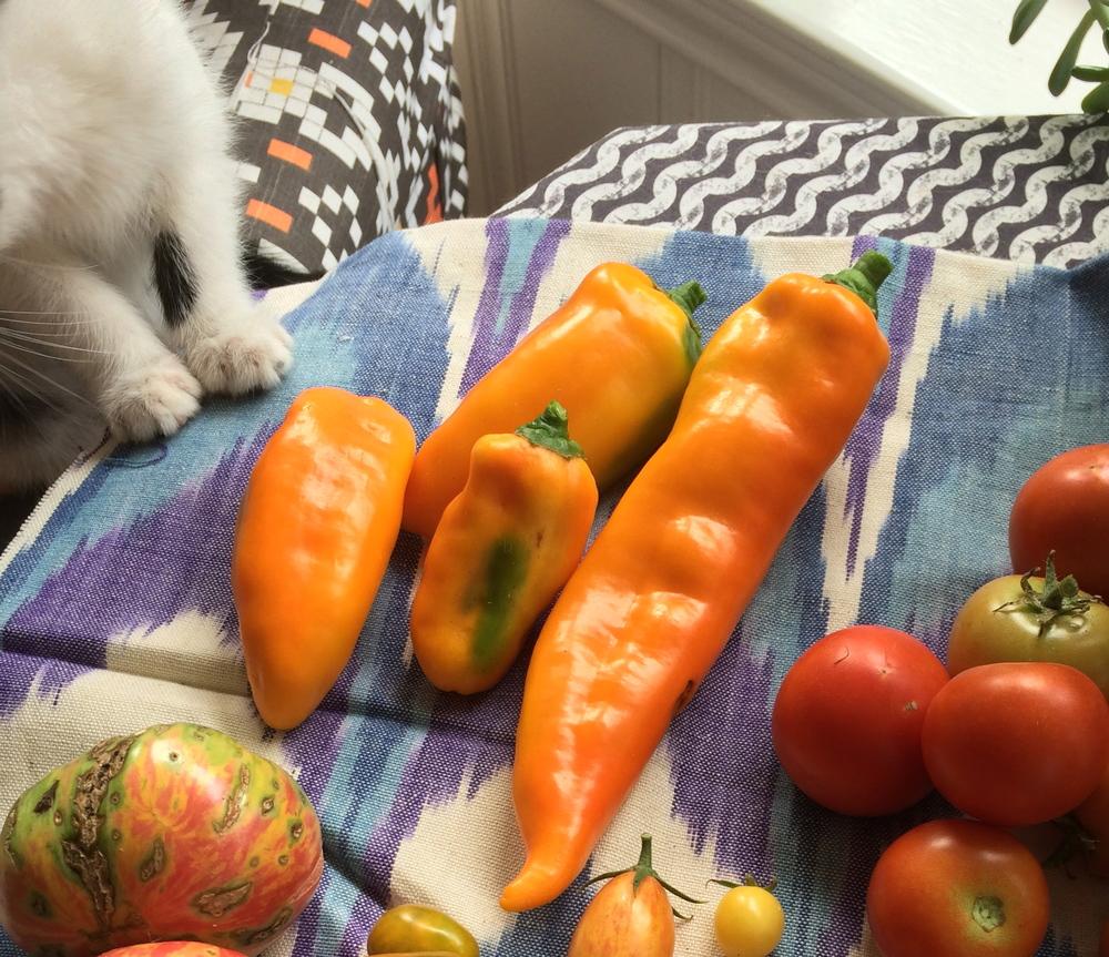 Sweet Italian Marconi Golden Peppers (little paws, Ziggy the rescue kitten)